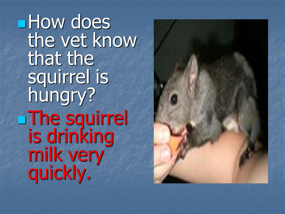 How does the vet know that the squirrel is hungry? How does the vet know that the squirrel is hungry? The squirrel is drinking milk very quickly. The
