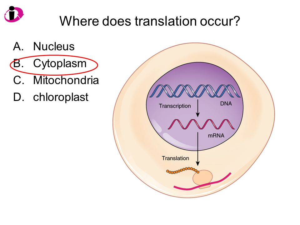 Where does translation occur? A.Nucleus B.Cytoplasm C.Mitochondria D.chloroplast