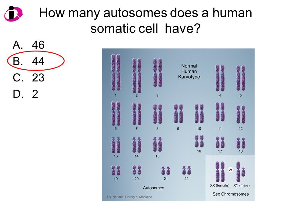 How many autosomes does a human somatic cell have? A.46 B.44 C.23 D.2