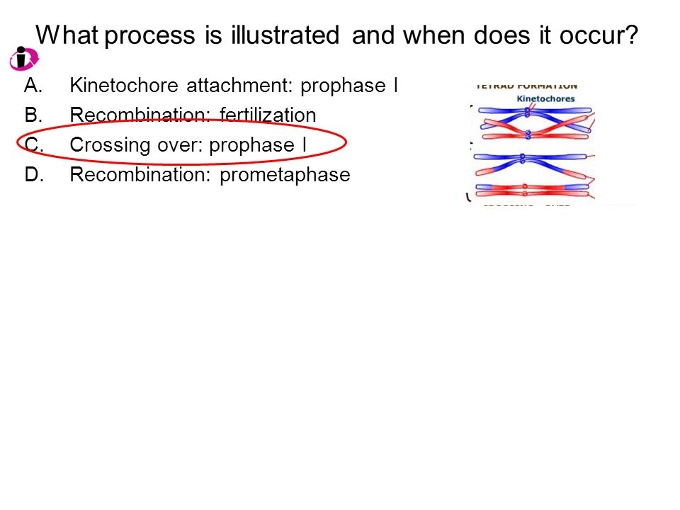 What process is illustrated and when does it occur? A.Kinetochore attachment: prophase I B.Recombination: fertilization C.Crossing over: prophase I D.