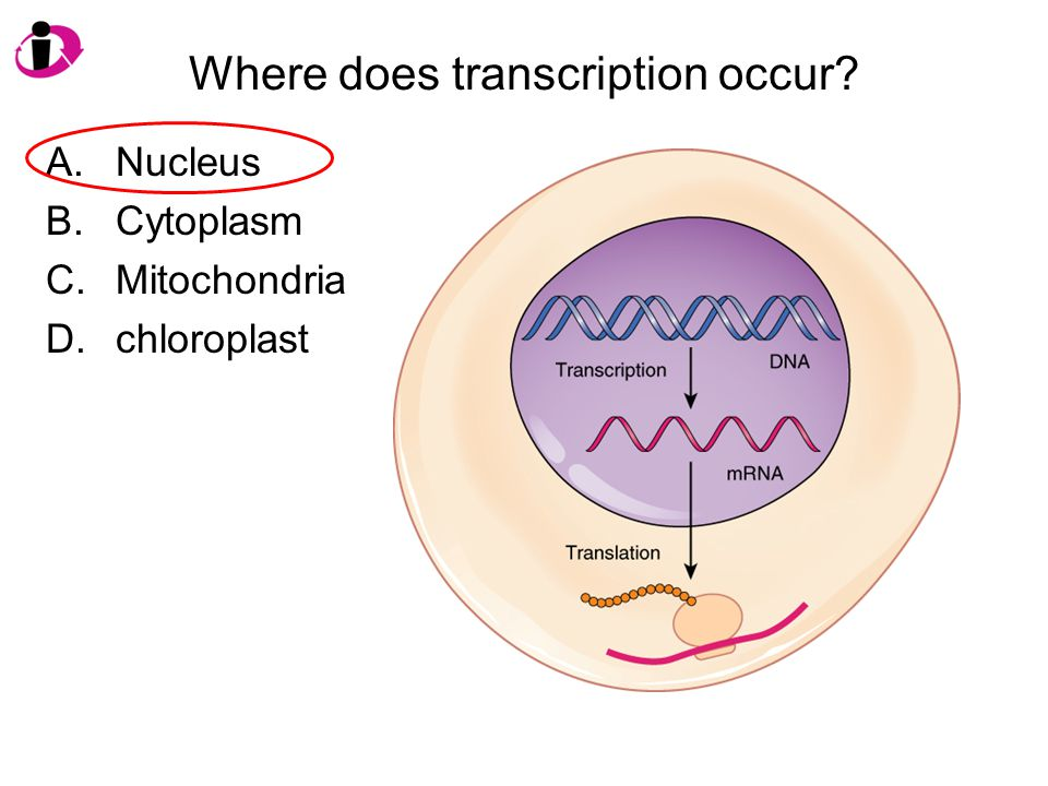 Where does transcription occur? A.Nucleus B.Cytoplasm C.Mitochondria D.chloroplast