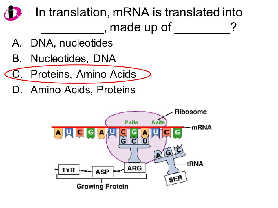 In translation, mRNA is translated into _________, made up of ________? A.DNA, nucleotides B.Nucleotides, DNA C.Proteins, Amino Acids D.Amino Acids, P
