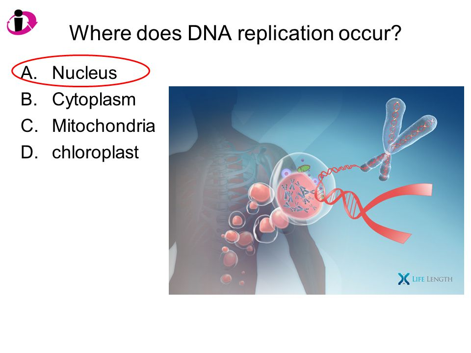 Where does DNA replication occur? A.Nucleus B.Cytoplasm C.Mitochondria D.chloroplast