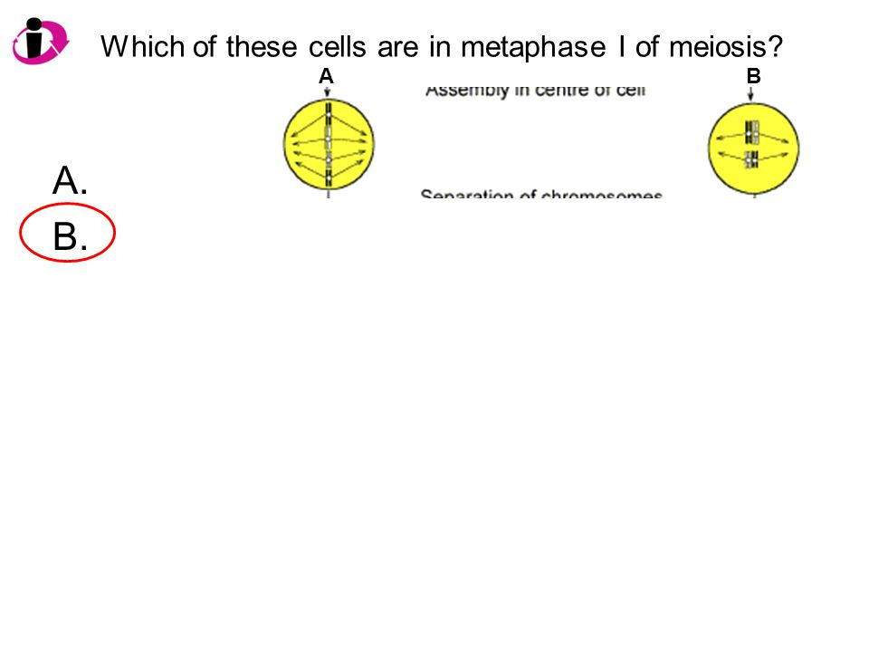 Which of these cells are in metaphase I of meiosis? A. B. AB