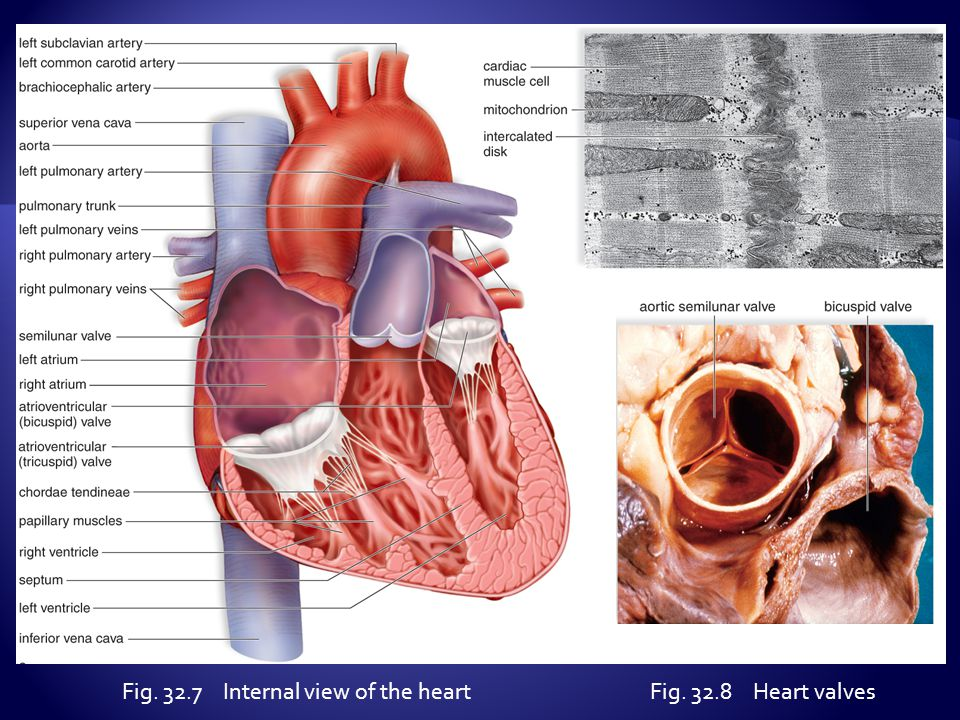 Fig. 32.7 Internal view of the heartFig. 32.8 Heart valves