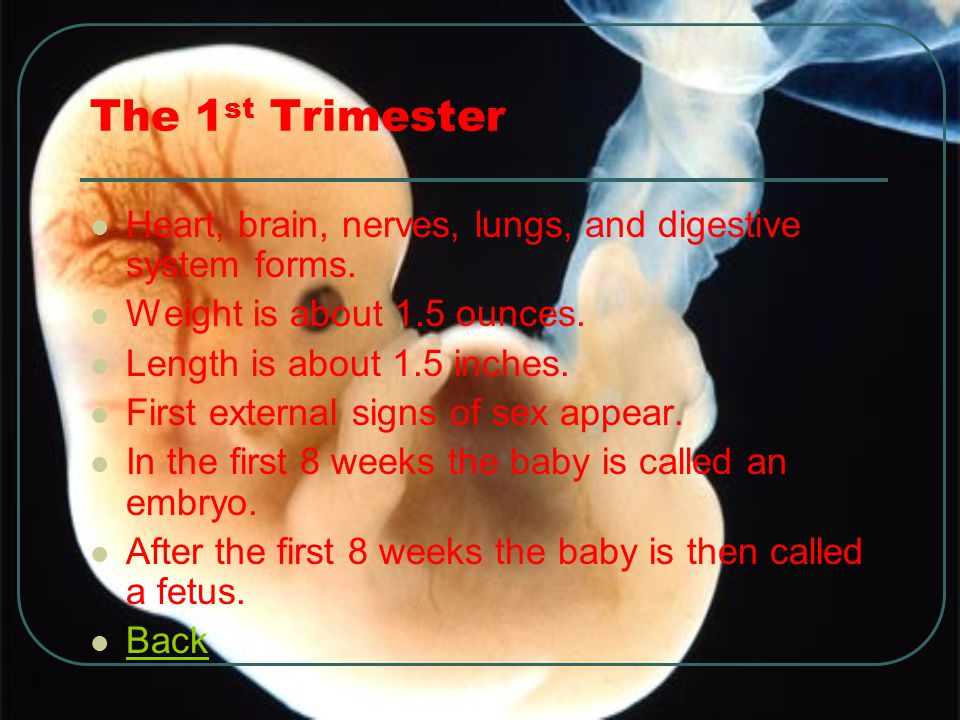 The 1 st Trimester Heart, brain, nerves, lungs, and digestive system forms. Weight is about 1.5 ounces. Length is about 1.5 inches. First external sig