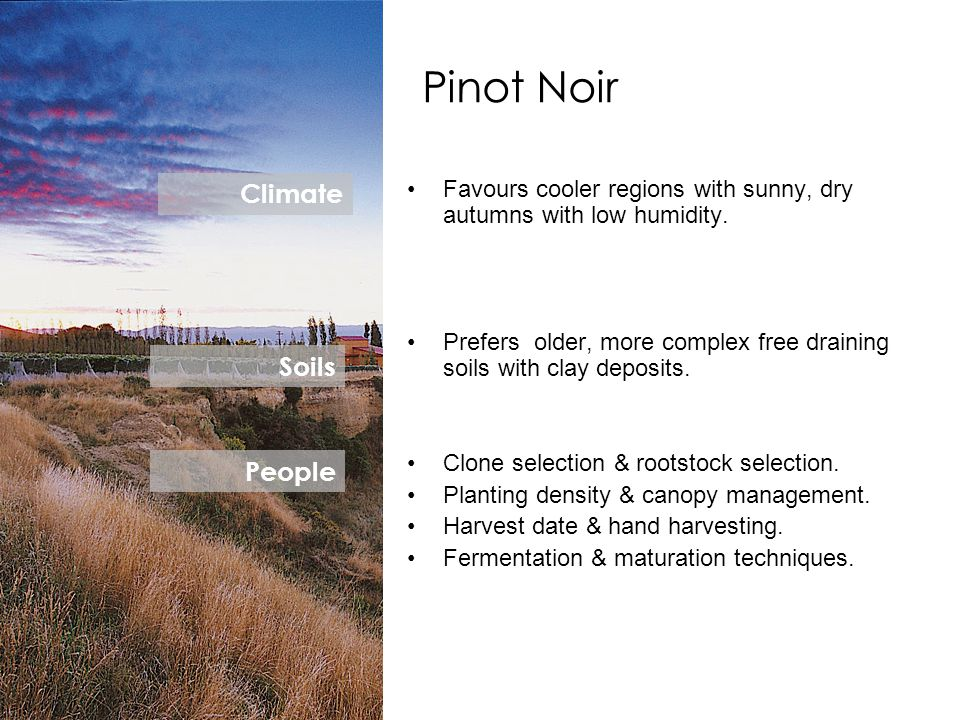 Pinot Noir Favours cooler regions with sunny, dry autumns with low humidity. Prefers older, more complex free draining soils with clay deposits. Clone