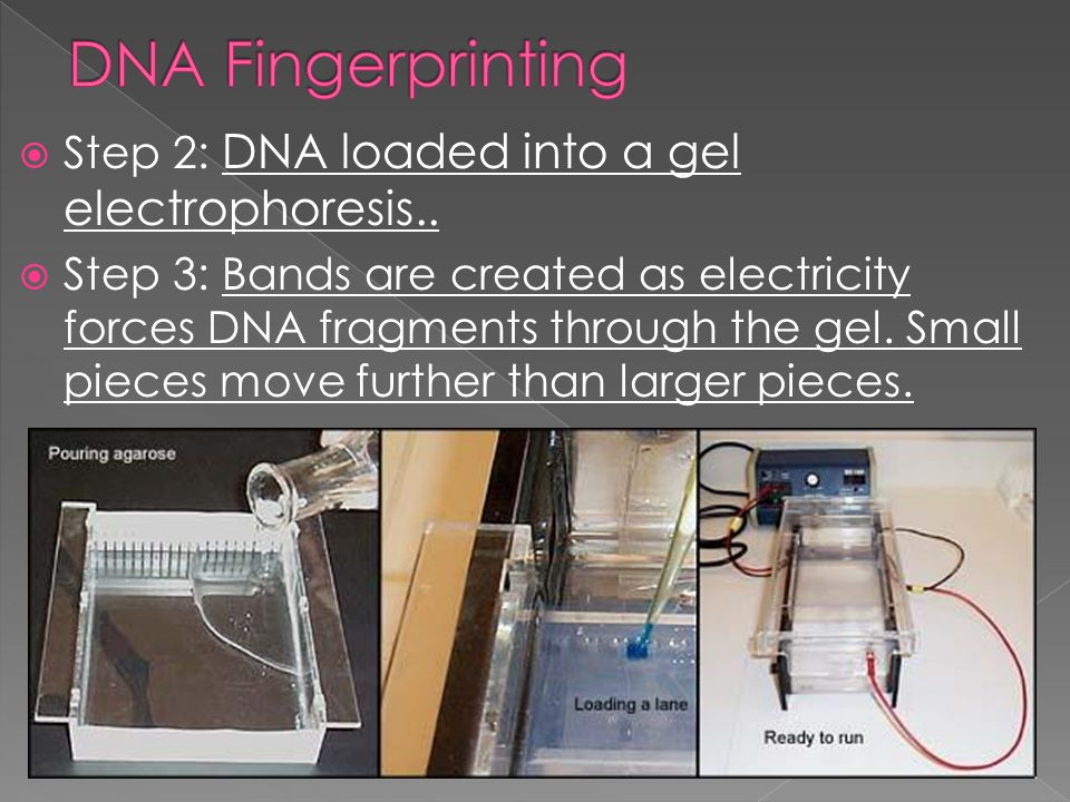 " Steps in DNA Fingerprinting › Step 1: Restriction enzyme cleaves specific DNA sequence › Restriction enzyme: the enzymes that ""cuts"" the DNA between"
