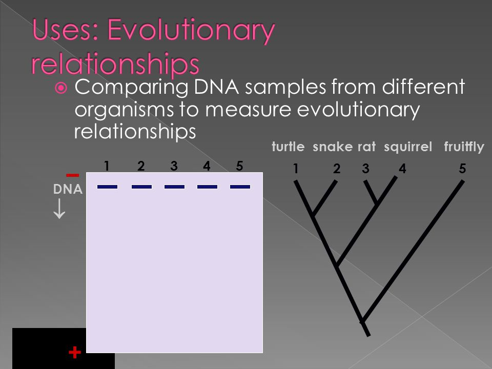  Process in creating Transgenic organism: › Step 1: Restriction enzymes cleave DNA sequence at desired gene (ex.