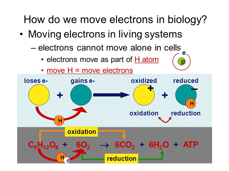 How do we harvest energy from fuels? Digest large molecules into smaller ones –break bonds & move electrons from one molecule to another as electrons