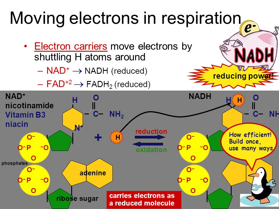 How do we move electrons in biology? Moving electrons in living systems –electrons cannot move alone in cells electrons move as part of H atom move H