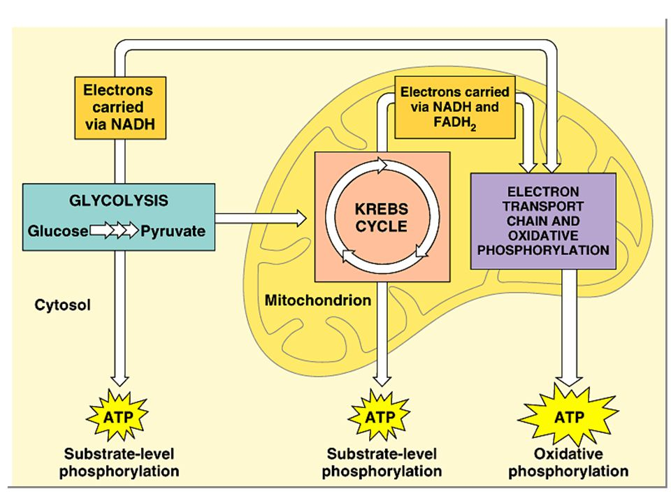 8 Steps of Respiration The complete oxidation of glucose proceeds in stages: 1. glycolysis 2. pyruvate oxidation 3. Krebs cycle 4. electron transport