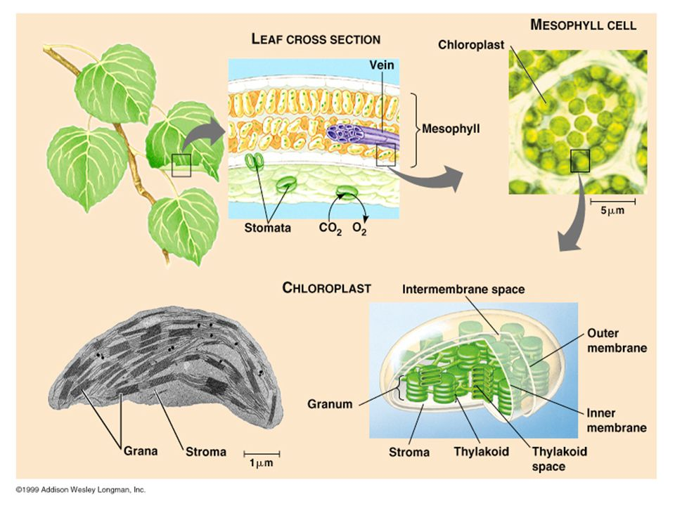 3 Photosynthesis Overview Energy for all life on Earth ultimately comes from photosynthesis. 6CO 2 + 12H 2 O C 6 H 12 O 6 + 6H 2 O + 6O 2 Photosynthes
