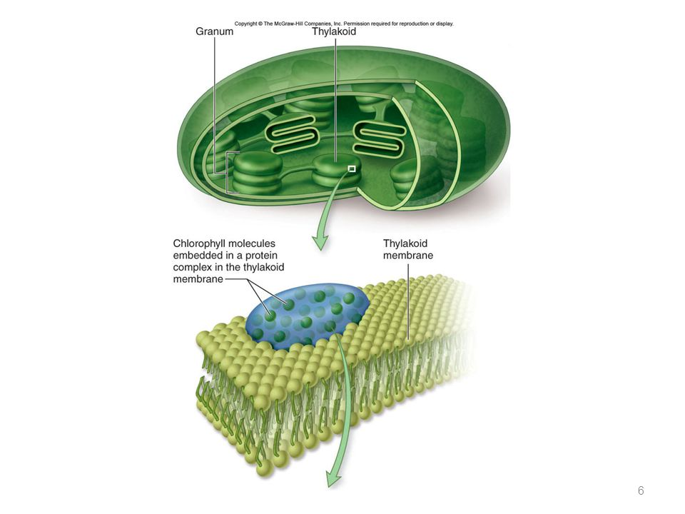 Chloroplasts – double membrane – stroma fluid-filled interior – thylakoid sacs – grana stacks Thylakoid membrane contains – chlorophyll molecules – el