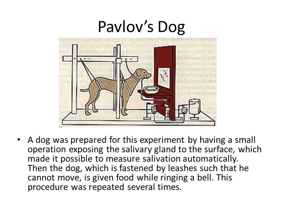 Pavlov's Dog A dog was prepared for this experiment by having a small operation exposing the salivary gland to the surface, which made it possible to