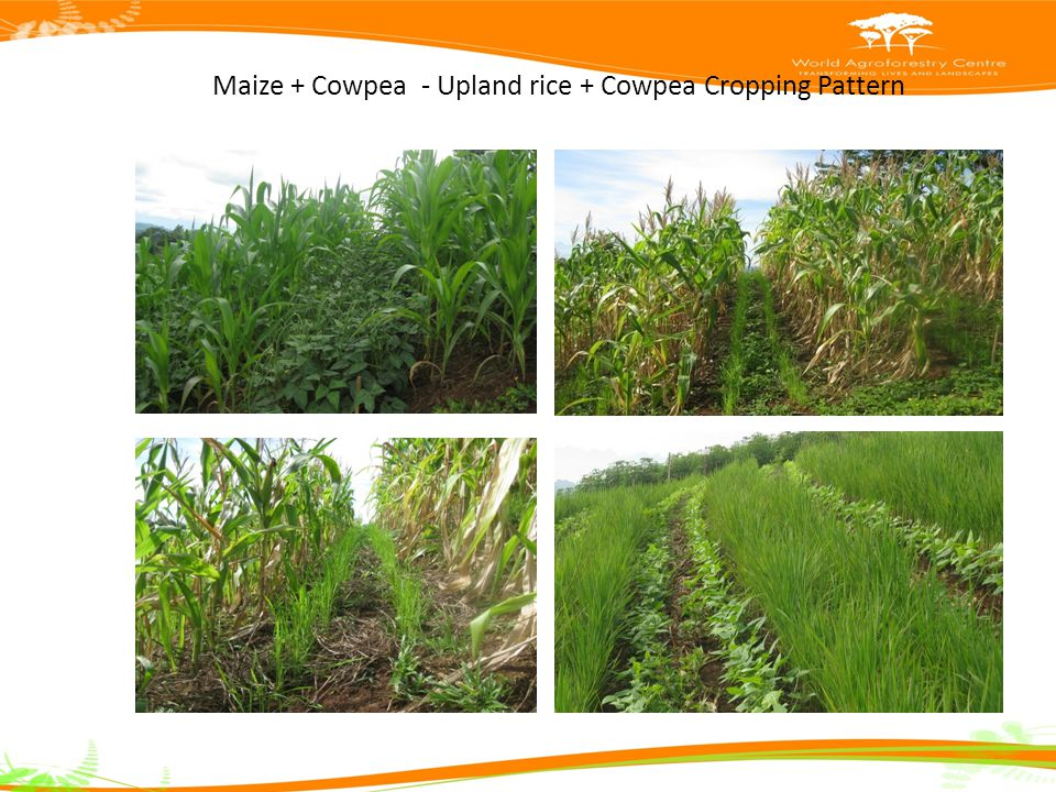 Maize + Cowpea - Upland rice + Cowpea Cropping Pattern