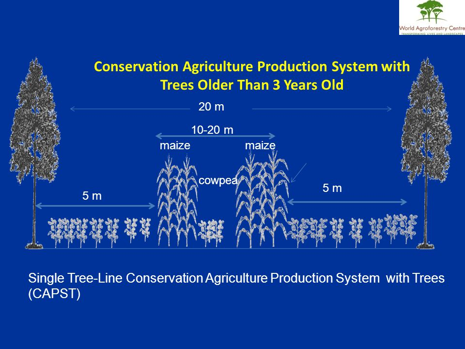 Conservation Agriculture Production System with Trees Older Than 3 Years Old 5 m 20 m cowpea maize Single Tree-Line Conservation Agriculture Production System with Trees (CAPST) maize 5 m 10-20 m