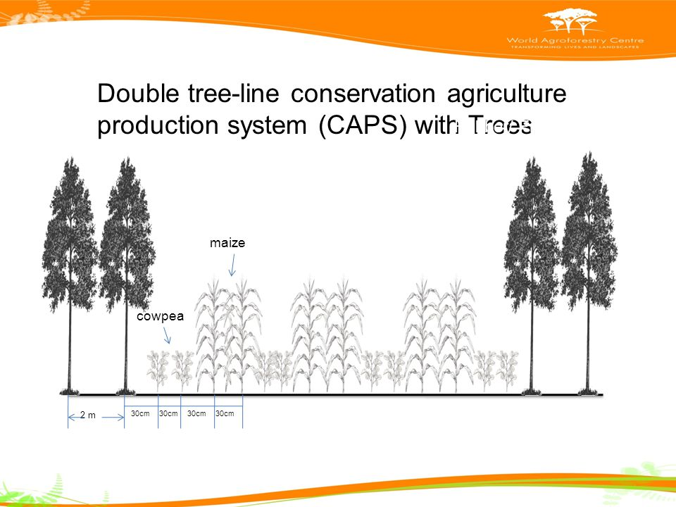 Double tree-line conservation agriculture production system (CAPS) with Trees 2 m 30cm cowpea maize Maize + Cowpea – Upland rice + cowpea Rubber/ Fruit/ Timber trees 20m x 2m x 3m; 30m x 2m x 3m