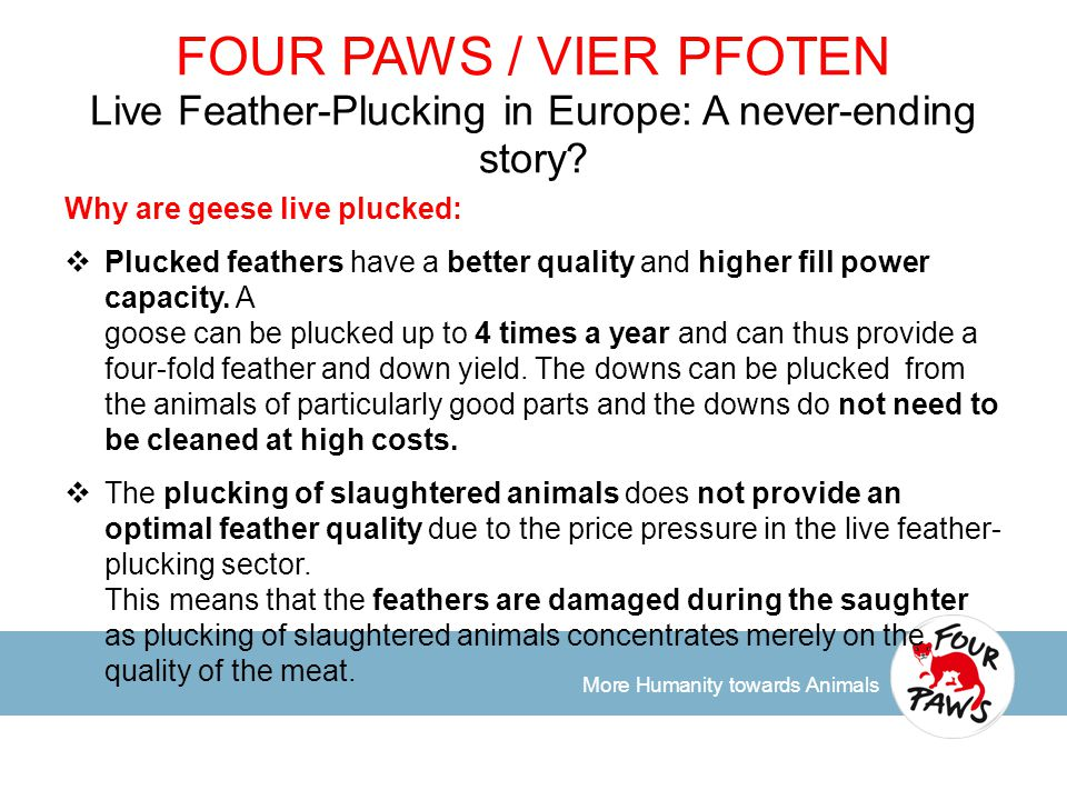 More Humanity towards Animals FOUR PAWS / VIER PFOTEN Live Feather-Plucking in Europe: A never-ending story.