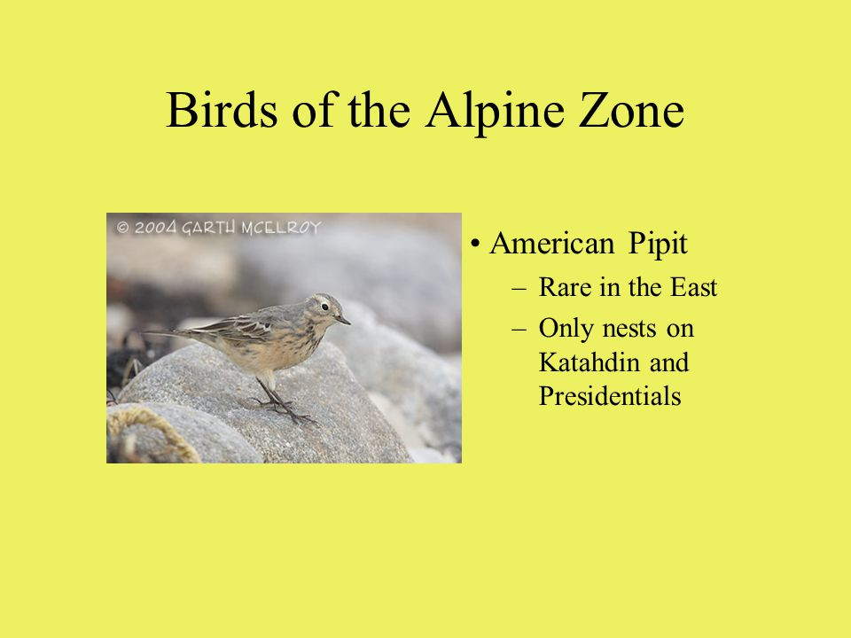 Birds of the Alpine Zone American Pipit –Rare in the East –Only nests on Katahdin and Presidentials