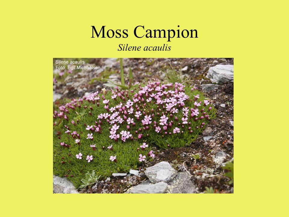 Moss Campion Silene acaulis