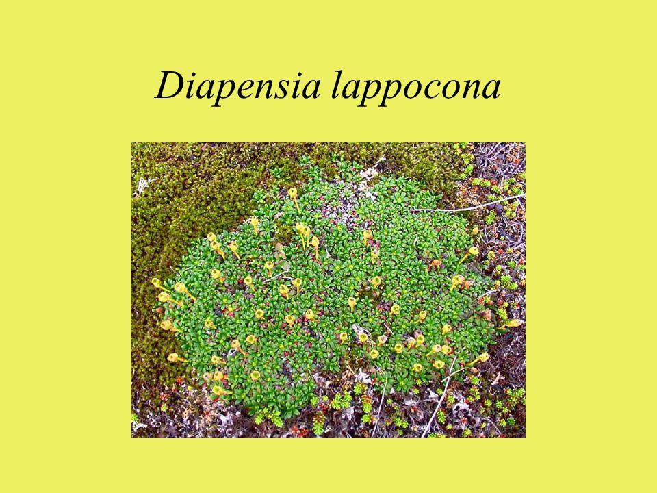 Diapensia lappocona