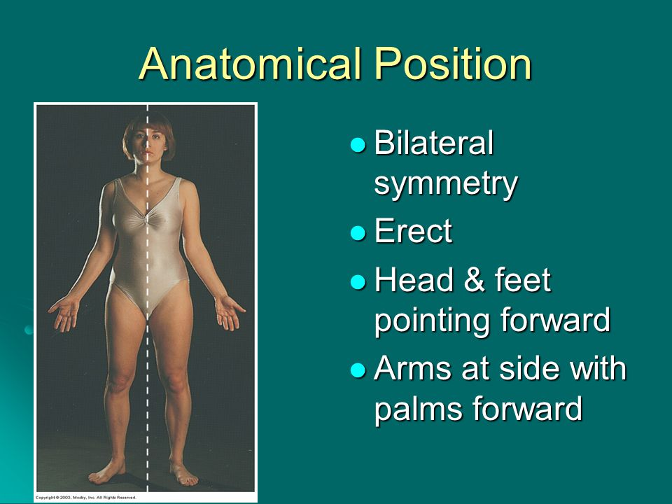 Anatomical Position Bilateral symmetry Bilateral symmetry Erect Erect Head & feet pointing forward Head & feet pointing forward Arms at side with palms forward Arms at side with palms forward