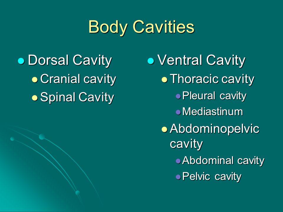 Body Cavities Dorsal Cavity Dorsal Cavity Cranial cavity Cranial cavity Spinal Cavity Spinal Cavity Ventral Cavity Ventral Cavity Thoracic cavity Pleural cavity Mediastinum Abdominopelvic cavity Abdominal cavity Pelvic cavity