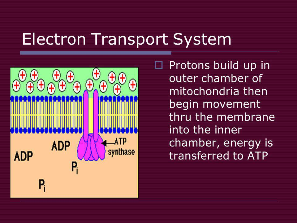 Electron Transport System  Protons build up in outer chamber of mitochondria then begin movement thru the membrane into the inner chamber, energy is transferred to ATP