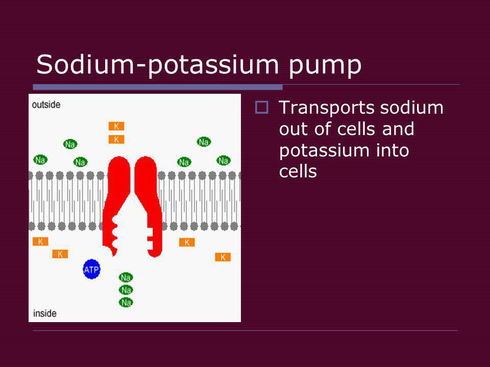 Sodium-potassium pump  Transports sodium out of cells and potassium into cells
