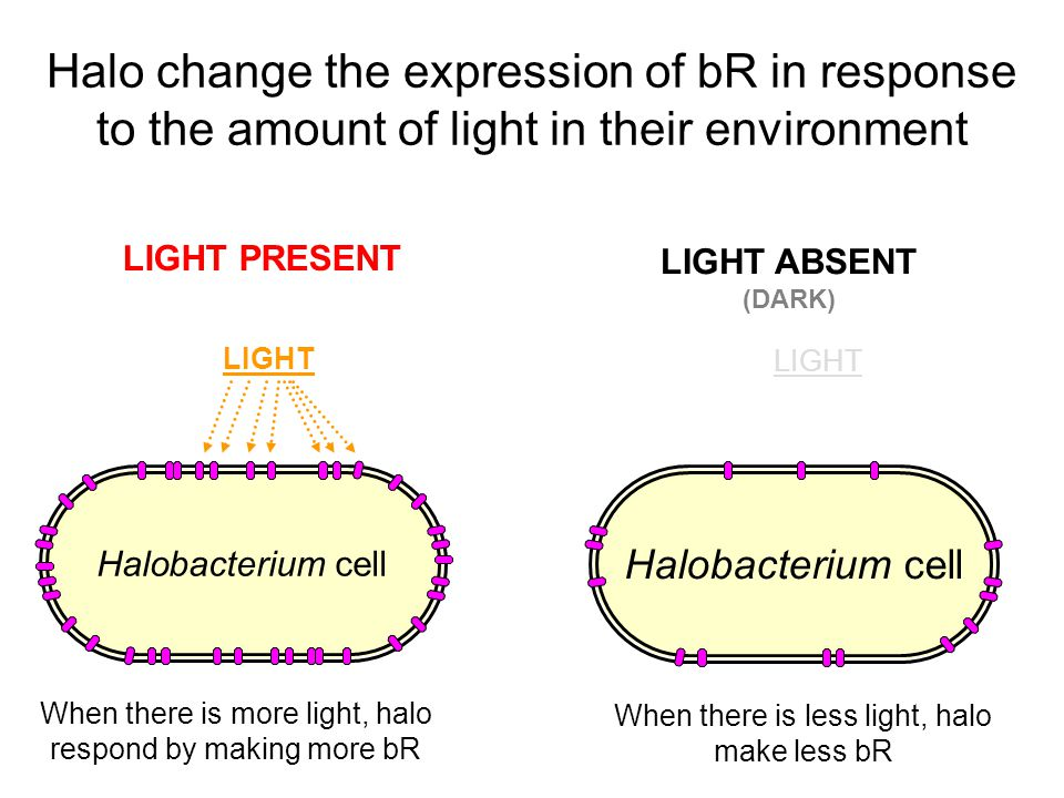Halobacterium cell LIGHT PRESENT LIGHT ABSENT (DARK) Halobacterium cell LIGHT When there is more light, halo respond by making more bR LIGHT When there is less light, halo make less bR Halo change the expression of bR in response to the amount of light in their environment