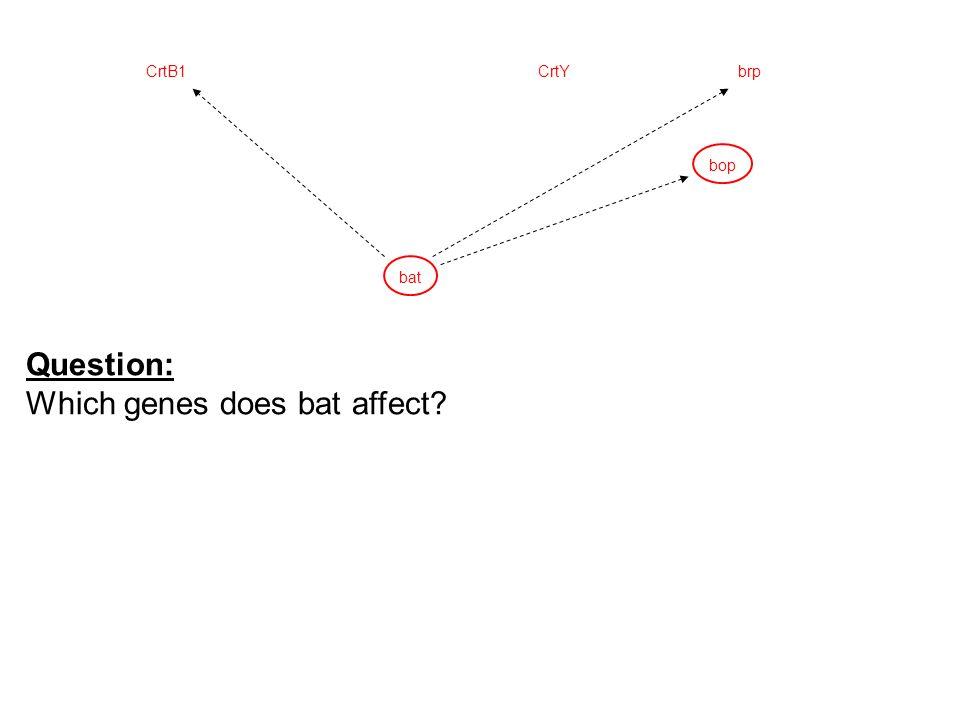 bop CrtYCrtB1brp bat Question: Which genes does bat affect