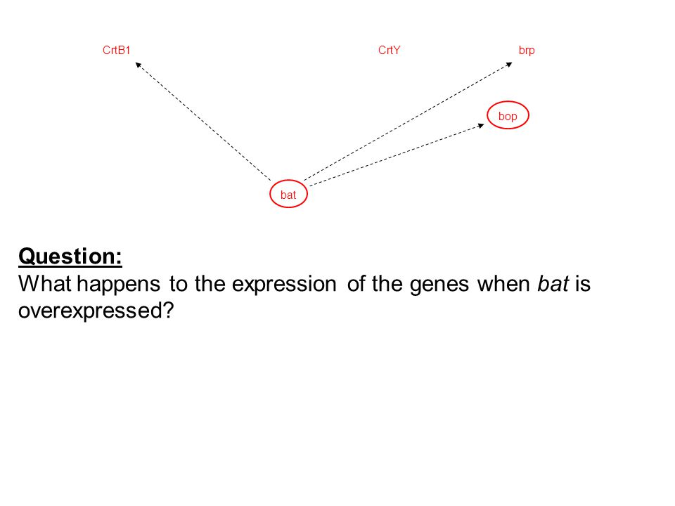bop CrtYCrtB1brp bat Question: What happens to the expression of the genes when bat is overexpressed?