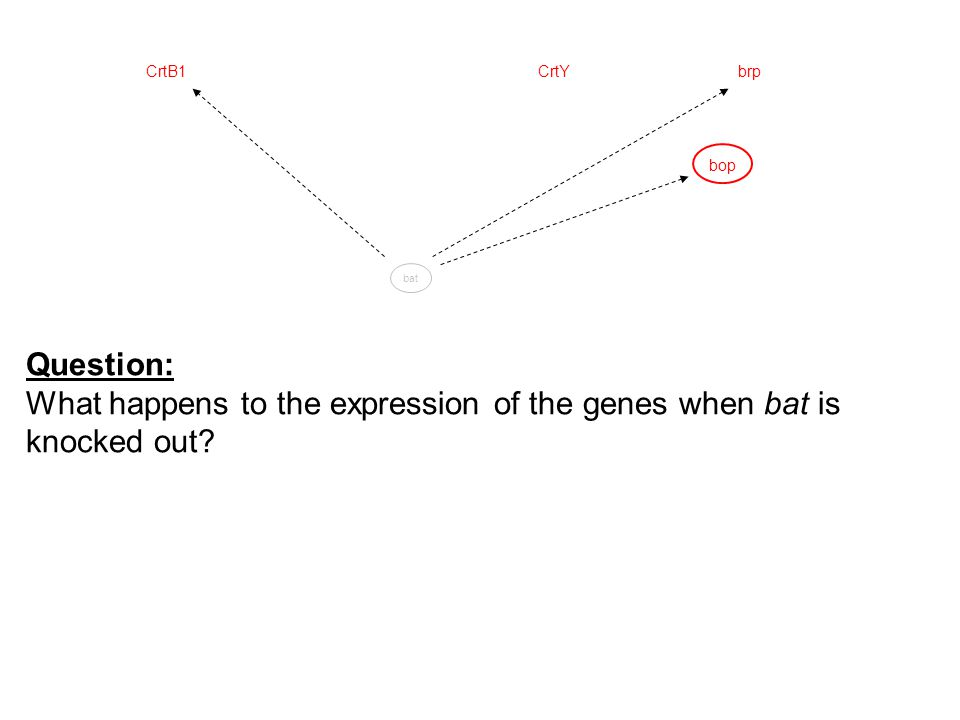 bop CrtYCrtB1brp bat Question: What happens to the expression of the genes when bat is knocked out?