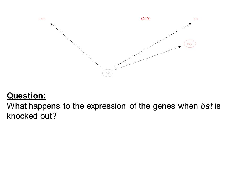 bop CrtY CrtB1brp bat Question: What happens to the expression of the genes when bat is knocked out?