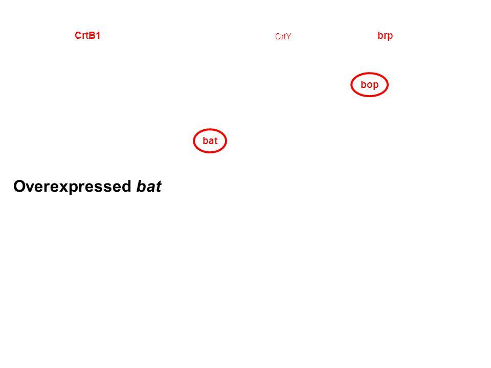 bop CrtY CrtB1brp bat Overexpressed bat