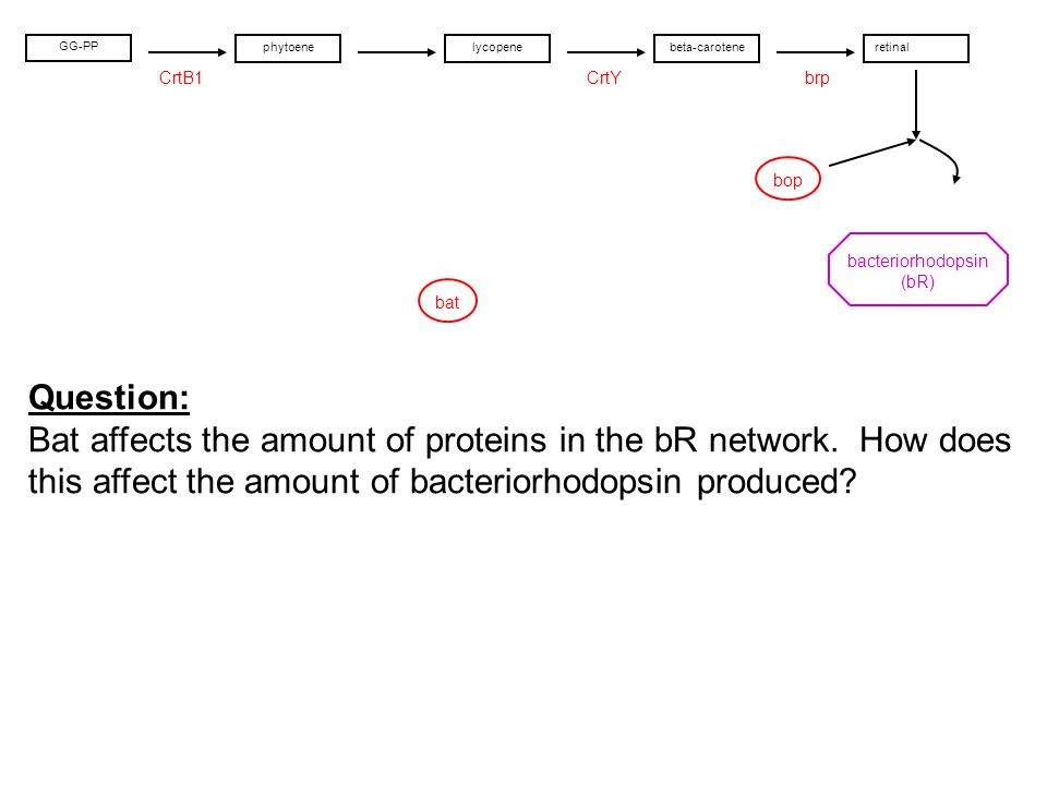 bop CrtYCrtB1brp bat lycopenebeta-caroteneretinal bacteriorhodopsin (bR) GG-PP phytoene Question: Bat affects the amount of proteins in the bR network.
