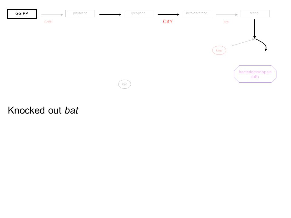 bop CrtY CrtB1brp bat Knocked out bat lycopenebeta-caroteneretinal bacteriorhodopsin (bR) GG-PP phytoene
