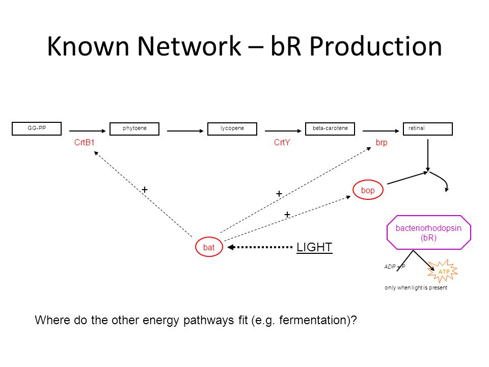 Known Network – bR Production ADP + P ATP LIGHT bop CrtYCrtB1brp bat lycopenebeta-caroteneretinal bacteriorhodopsin (bR) GG-PP phytoene only when light is present Where do the other energy pathways fit (e.g.