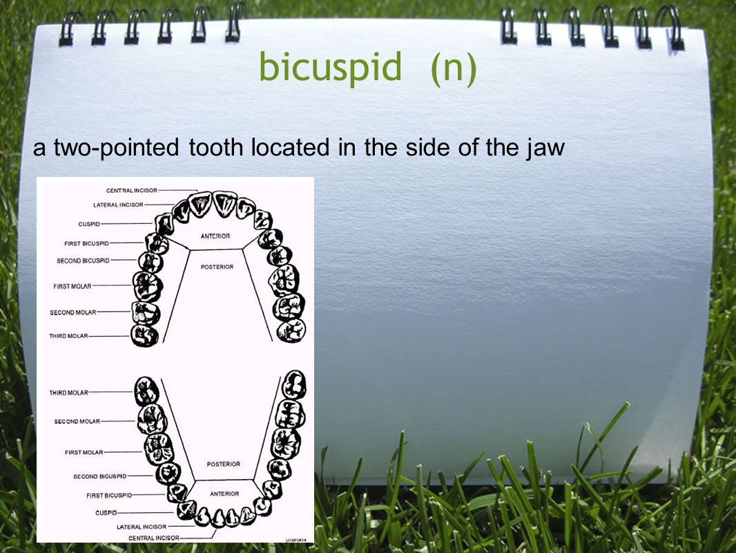 bicuspid (n) a two-pointed tooth located in the side of the jaw