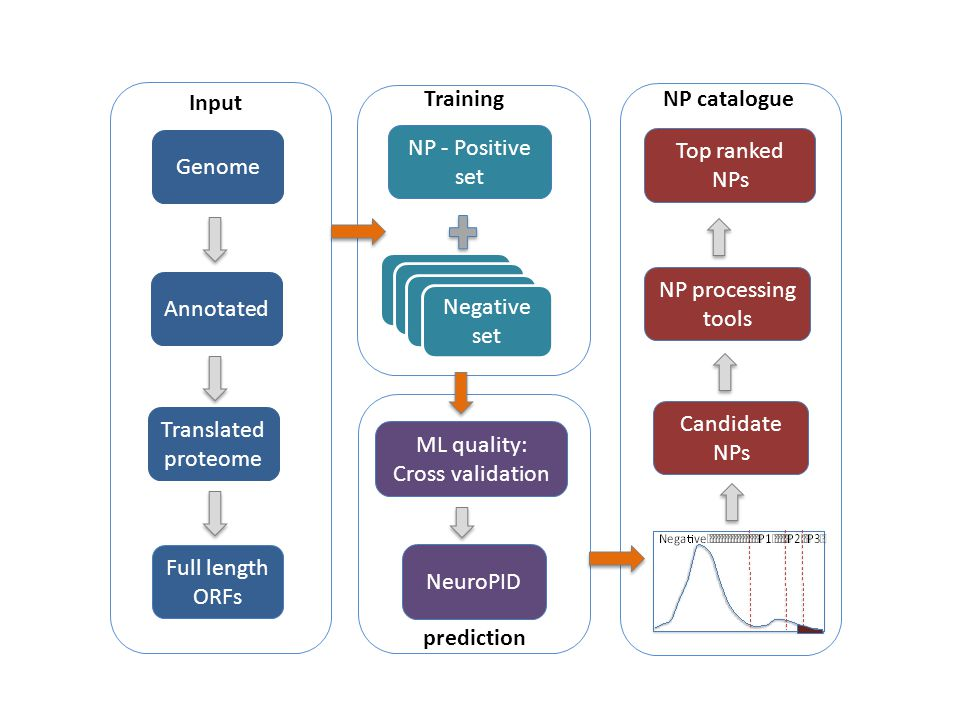 NP - Positive set Negative Set Full length ORFs Genome Annotated Candidate NPs Top ranked NPs Input Training NP catalogue Negative Set Negative set NP processing tools Translated proteome ML quality: Cross validation NeuroPID prediction