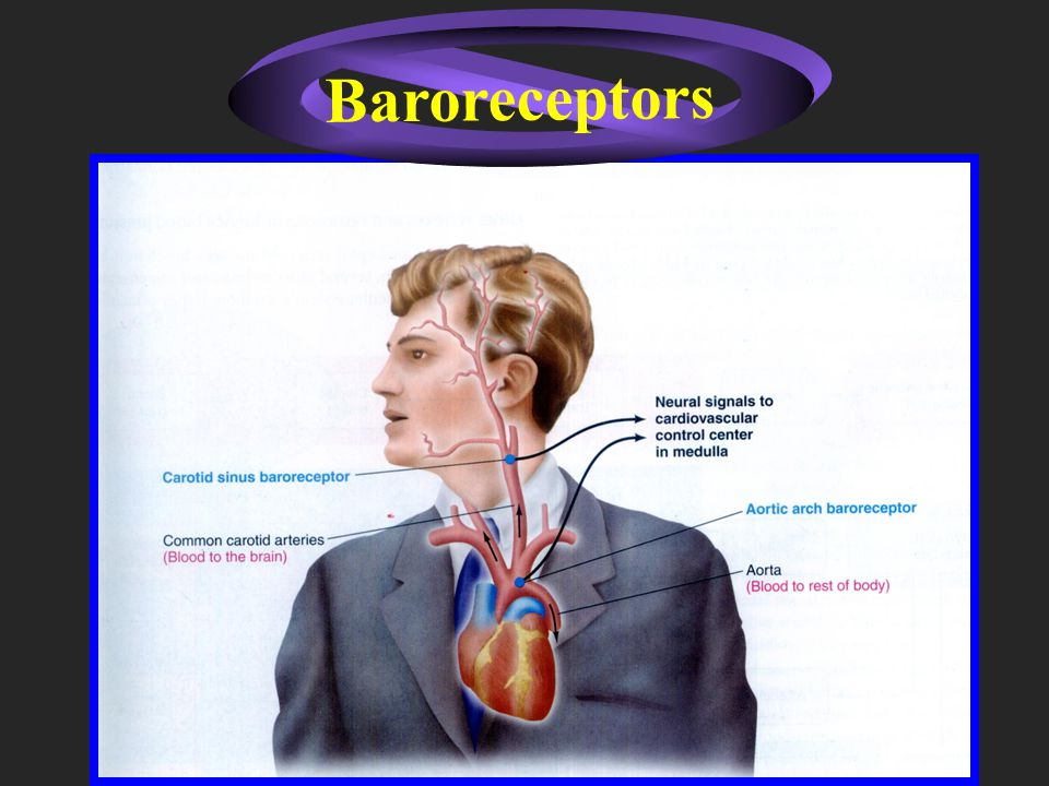 Renal compensation Baroreceptor reflex Short-term Control Long-term control Control of blood pressure
