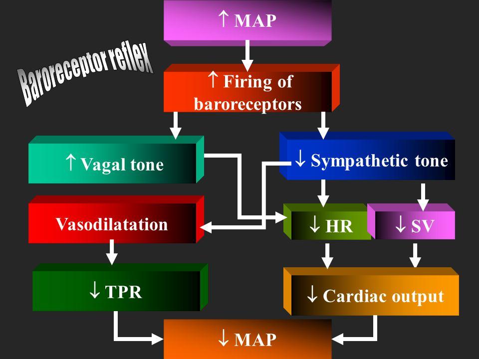Receptors Afferents Center Efferents Effectors Baroreceptors Minimal Firing of Glossopharyngeal and Vagus Nerves Vasomotor Center in medulla oblongata