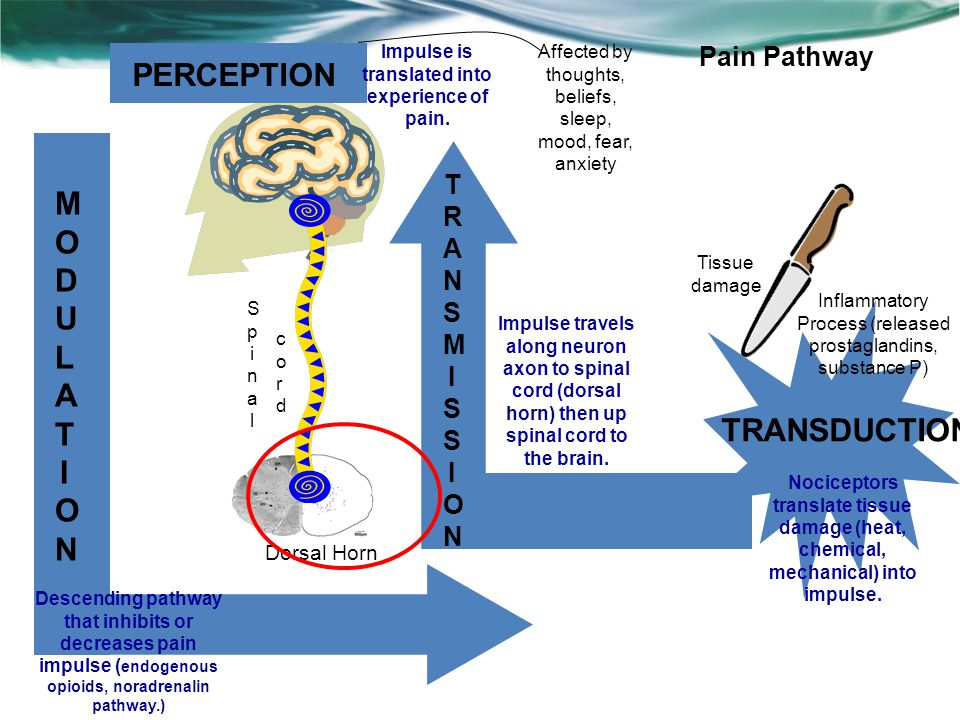 PERCEPTION TRANSDUCTION MODULATIONMODULATION TRANSMISSIONTRANSMISSION Dorsal Horn SpinalSpinal cordcord Nociceptors translate tissue damage (heat, chemical, mechanical) into impulse.