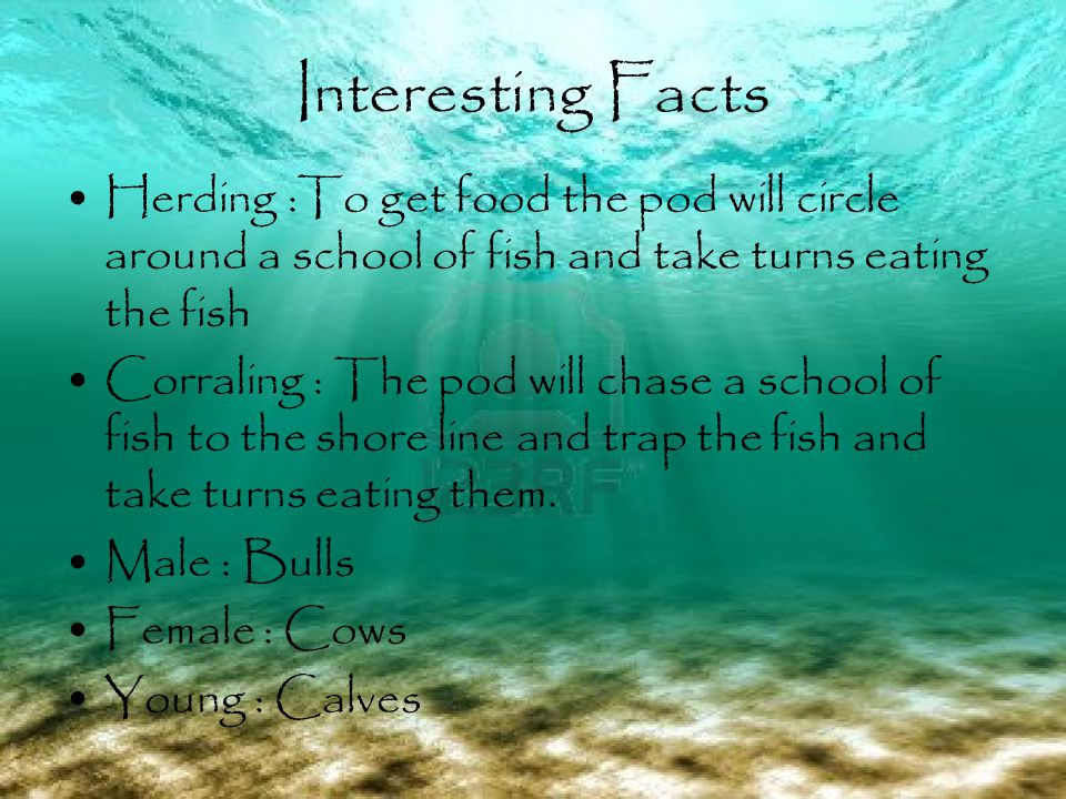 Interesting Facts Herding :To get food the pod will circle around a school of fish and take turns eating the fish Corraling : The pod will chase a school of fish to the shore line and trap the fish and take turns eating them.