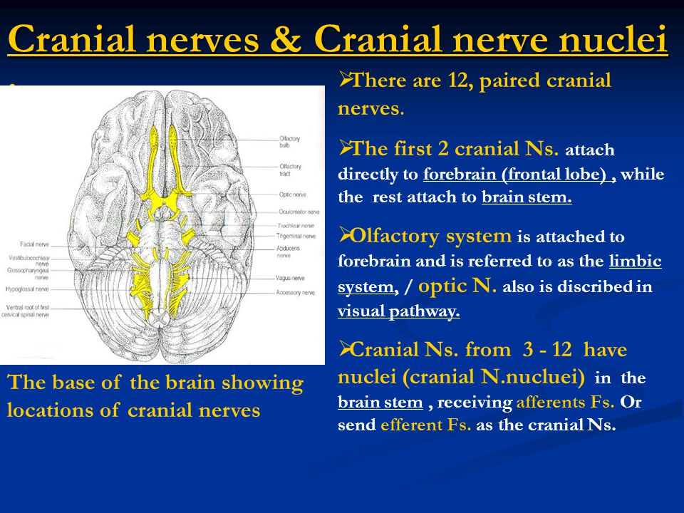 Cranial nerves & Cranial nerve nuclei : The base of the brain showing locations of cranial nerves  There are 12, paired cranial nerves.  The first 2
