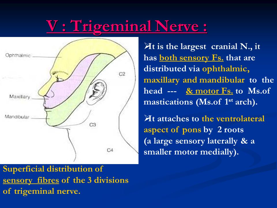 V : Trigeminal Nerve : V : Trigeminal Nerve : Superficial distribution of sensory fibres of the 3 divisions of trigeminal nerve.  It is the largest c