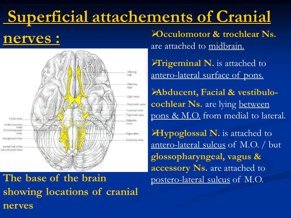 Vestibular Nerve Fibres : Vestibular nerve nuclei & their central connections  Efferent Fs.