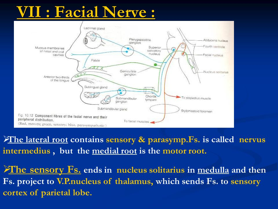 VII : Facial Nerve :  The lateral root contains sensory & parasymp.Fs. is called nervus intermedius, but the medial root is the motor root.  The sen