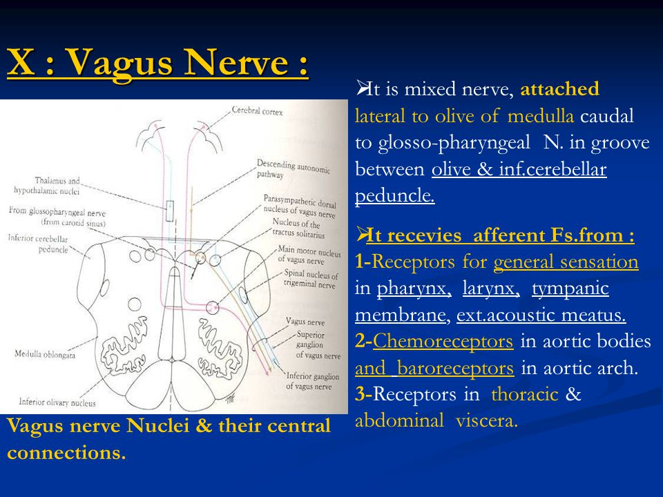 X : Vagus Nerve : Vagus nerve Nuclei & their central connections.  It is mixed nerve, attached lateral to olive of medulla caudal to glosso-pharyngea